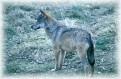 Un lupo appenninico