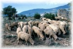 Un gregge di pecore al pascolo sulle colline abruzzesi